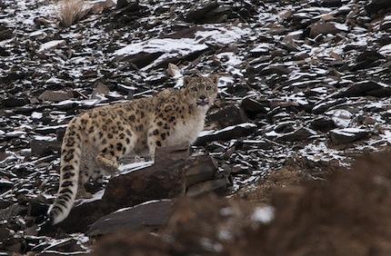 Inde – Voyage photo animalier «La quête du léopard des neiges en himalaya»