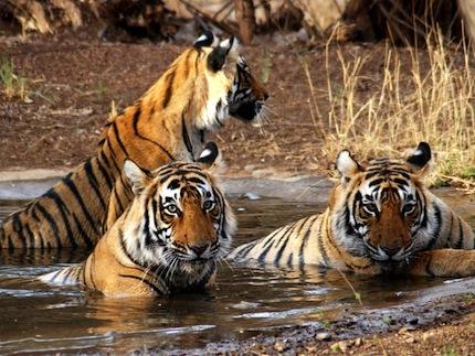 Népal – Voyage photo animalier «Au coeur des parcs du Népal»