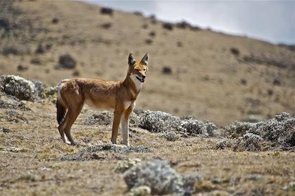 Ethiopie – Voyage Photo animalier «Loup d'Ethiopie, Geladas et Hauts Plateaux»