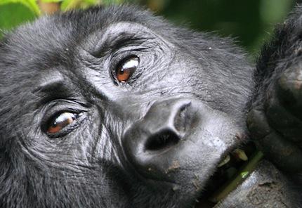 Ouganda – Voyage Photo Animalier «Rencontre avec les Gorilles des Montagnes»