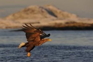 Norvège – Voyage photo «Rencontre hivernale avec le pygargue à queue blanche»