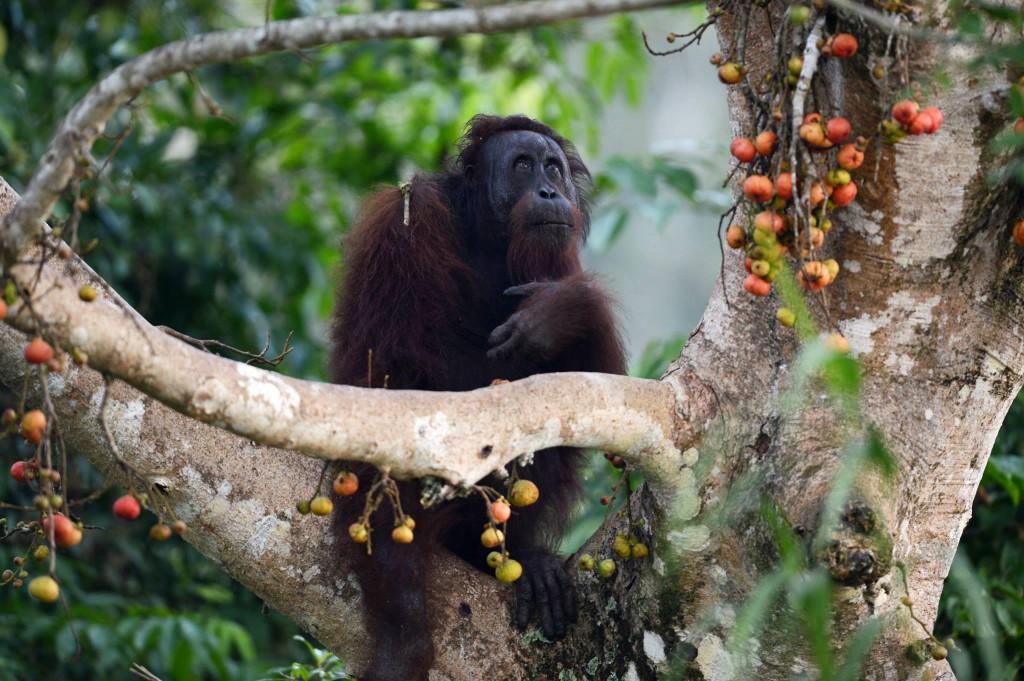 Bornéo et Orang Outan – Février 2015