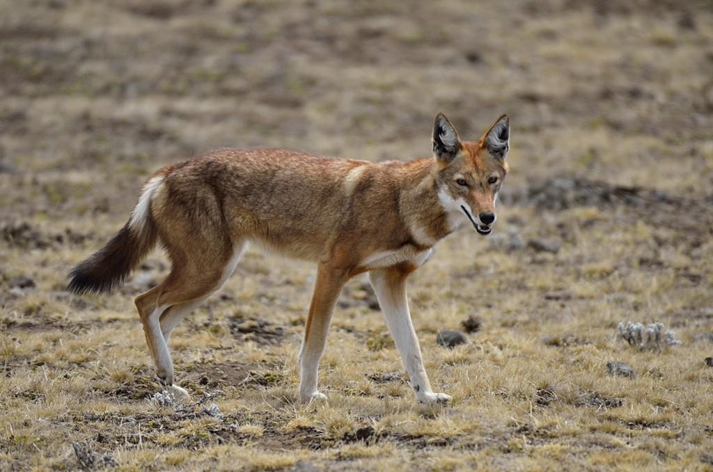 Ethiopie – Voyage observation et photographie animalière