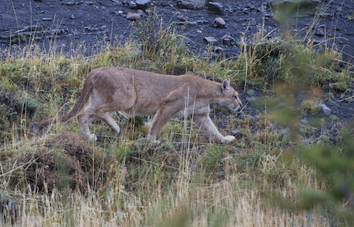 Patagonie – Voyage Photo «A la rencontre du Puma des Montagnes»