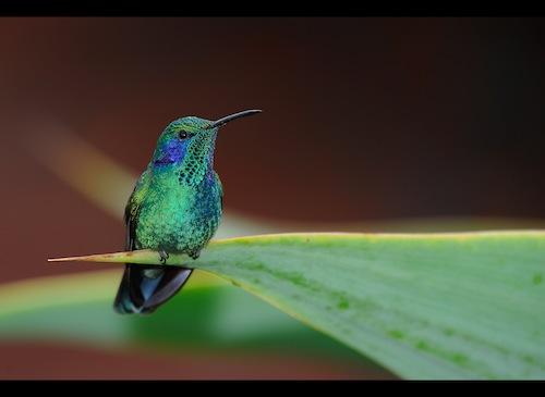 Costa Rica – Voyage Photo Animalier «Au pays des oiseaux colorés»