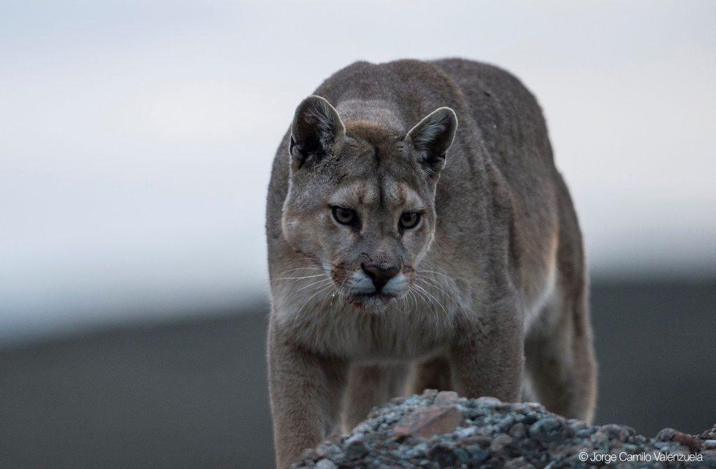 Patagonie – Quête du Puma