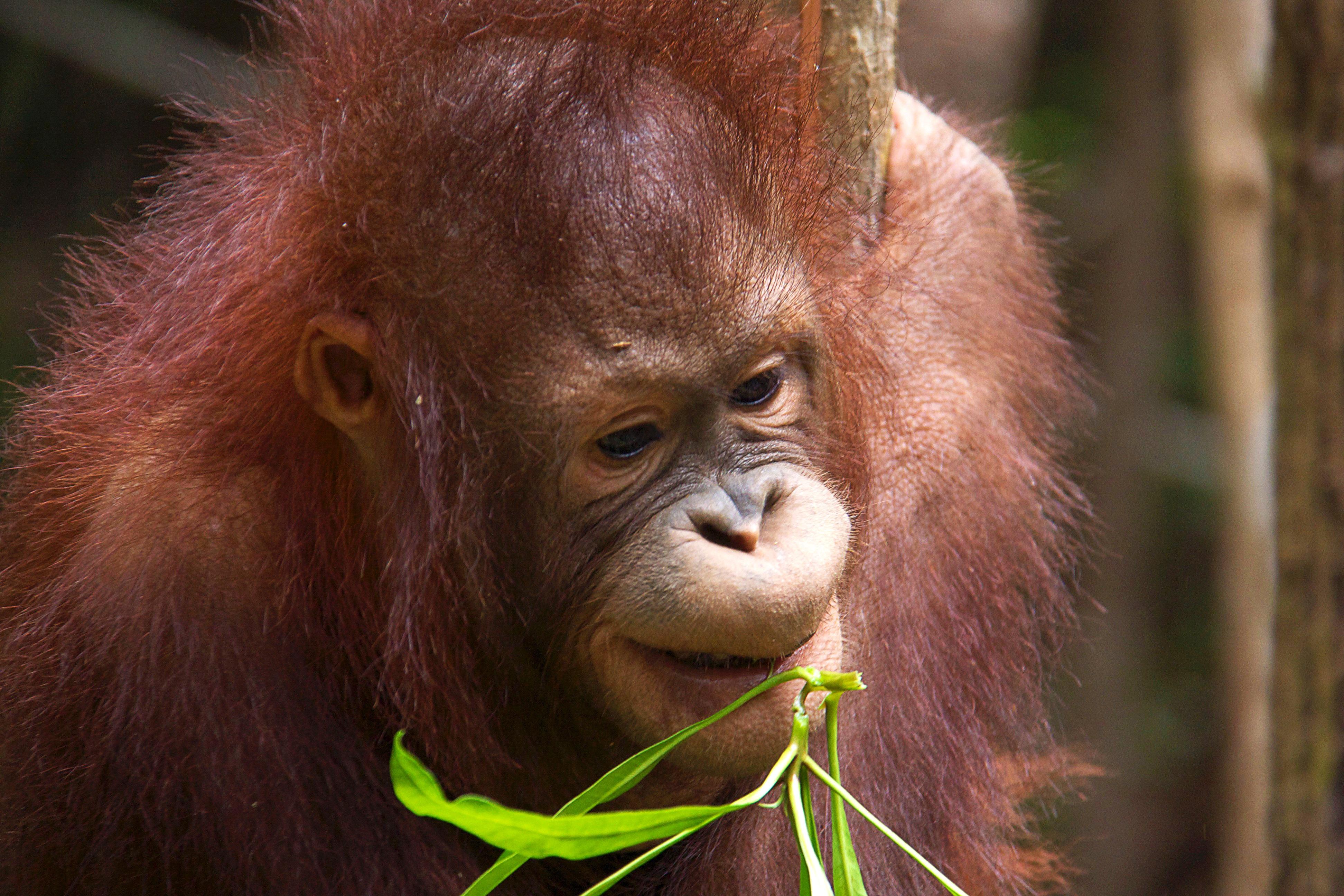 Malaisie – Voyage Photo Animalier «Au coeur de la jungle de Bornéo»
