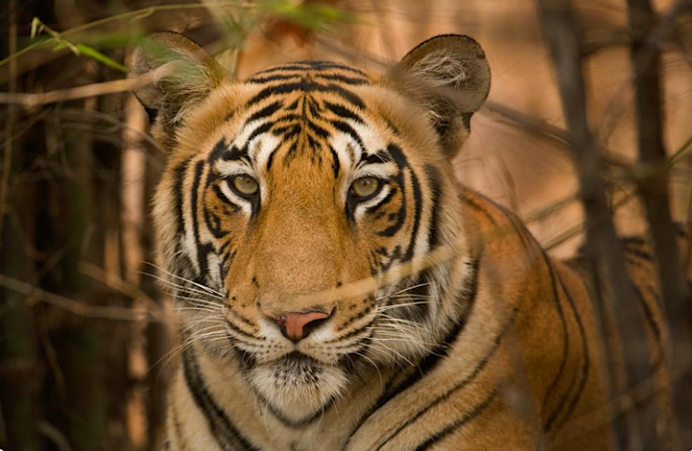 Safari Photo Inde – Dans les yeux du tigre du bengale