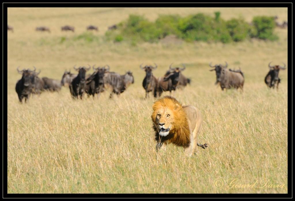 comment chasse le lion