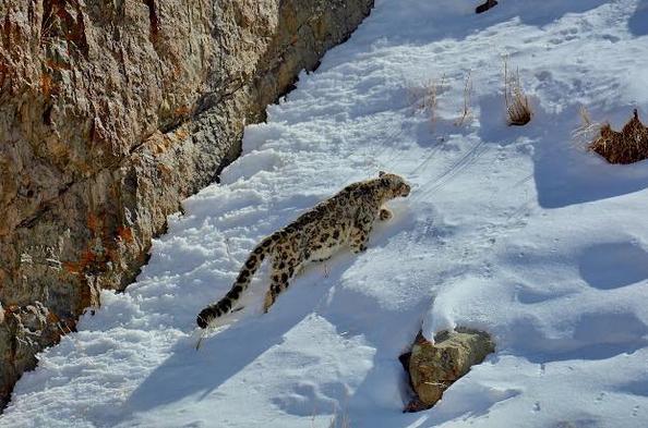 Ma rencontre avec le Leopard des Neiges
