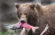 Ma rencontre avec les Ours du Kamchatka