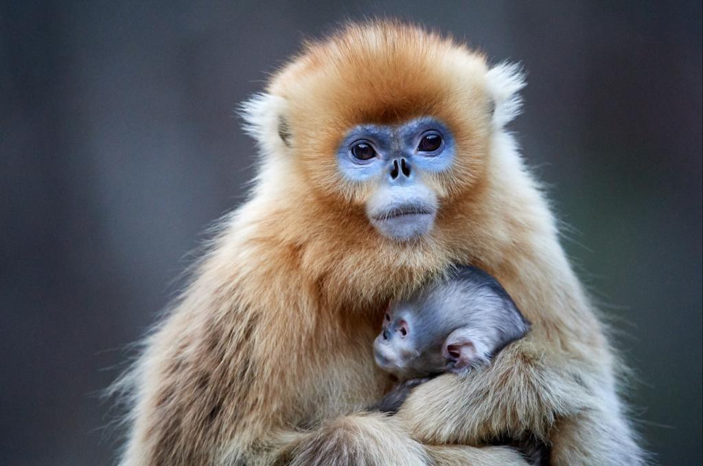 Chine – Voyage photo animalière « A la rencontre des primates de montagnes du Sichuan et du Yunnan»